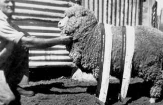 Clarrie Murphy with Red Hills Champion Ewe 1952